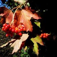 Зреют рубиновые кисти калины... :: Лидия Бараблина