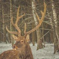 Портрет оленя. :: Андрей