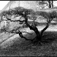 Старое дерево :: Маргарита