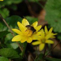 Пчелка Майя :: Ann