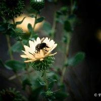 пчелка... :: Виктор Балика