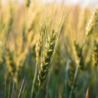 Пшеница :: Oleg Zubak