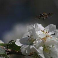 пчелка :: Peet