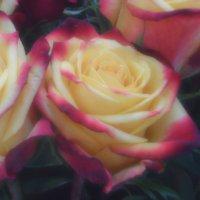 Розы Cabaret в мягком фокусе :: Дмитрий Бутусов