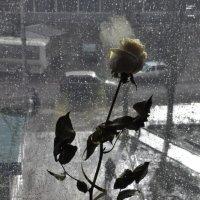Вторая жизнь розы :: Елена Грибакина