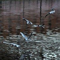 Чайки :: Елена Грибакина