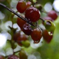 Виноград после дождя :: Alina Bondar