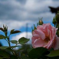роза :: Виктория грёZы