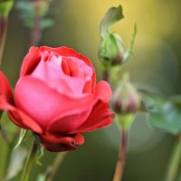 роза :: Nonna