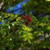 Люблю я осени картины,полей чернеющих простор, и гроздья красные рябины.... :: Ольга Sad