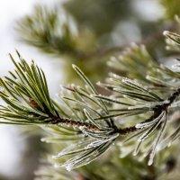 Ветка сосны зимой :: Cissa Andebo