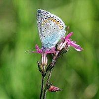 Голубянка. :: оля san-alondra