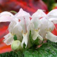 Яснотка, которая цветет до ноября :: Александр Чеботарь