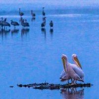 Пеликаны :: Адик Гольдфарб