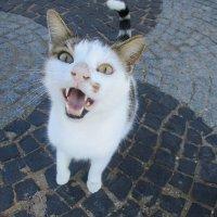 Турецкий кот :: Зинаида