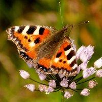 опять про бабочек 8 :: Александр Прокудин