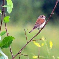Пташка. :: оля san-alondra