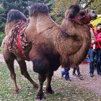 """""""Верблюд решил, что он жираф, и ходит голову задрав..."""" :: Ольга И"""