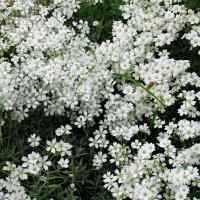 Ясколка  (Cerastium tomentosum) :: Александр Чеботарь