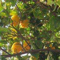Лимоны.. :: Зинаида