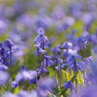 Ликует синий пролесок в апреле.. :: Татьянка *