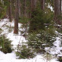В январском лесу :: Татьяна Ломтева