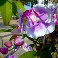 Орхидея. :: Зоя Чария