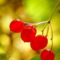 Горькая ягода калина. :: юрий Амосов