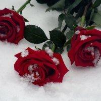 Розы на снегу :: Светлана Петошина