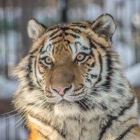 Амурский тигр :: Аркадий Лаптенко