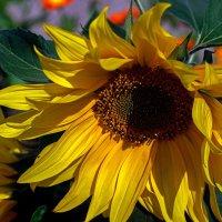 Цветок солнца :: gribushko грибушко Николай