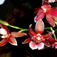 Орхидея :: Наталья Цыганова