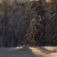 Сосенка под снегом. :: Галина Полина