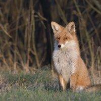 Рыжая лисица. :: Maxim Lanin