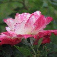 Розы... рохы... :: Вячеслав Медведев
