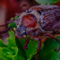 Майский жук :: Владимир Шамота