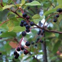 Плоды черемухи :: Зоя Мишина