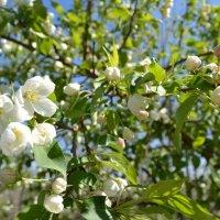 Когда,яблони в цвету...Всем девчонкам нравится... :: Хлопонин Андрей Хлопонин Андрей
