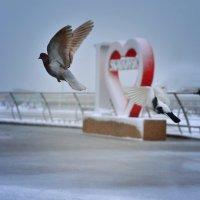 Зимние голуби :: Александр Довгий