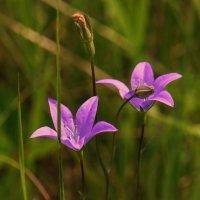 Полевые цветы. :: сергей