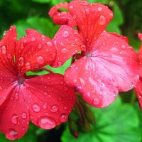 Герань после дождя. :: оля san-alondra