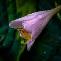 Цветок хосты :: Владимир Шамота