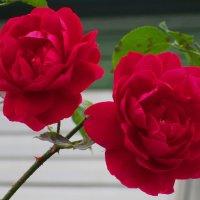 Красные розы — дыхание страсти :: Ольга Довженко