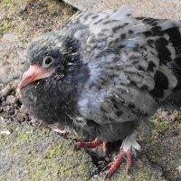 Неожиданная встреча - птенец голубя в феврале :: Маргарита Батырева
