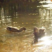 Молодые утки на пруду. :: Елена Kазак