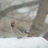 Свиристель на снегу. :: сергей