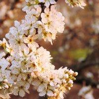 Кипенье белое садов, души неясное томленье и зов неведомых миров.. :: Гала