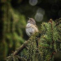 Звонкая песня лесной завирюшки :: Alexander Andronik