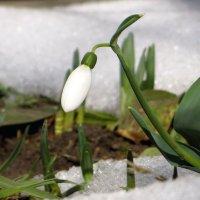 Подснежник пробился сквозь снег по привычке, капризной зимы, возвещая, уход :: Татьяна Смоляниченко