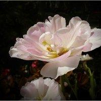 Они цветут, сердца обогревая, как маленькие, тёплые костры :: dana smirnova